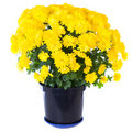 Yellow  chrysanthemum in flowerpot Royalty Free Stock Images