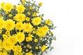 Yellow Chrysanthemum on White Background Royalty Free Stock Photo