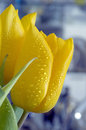 Yellow close-up tulips Stock Images