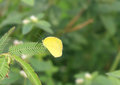 Yellow Clouded Sulphur Butterfly Royalty Free Stock Photo