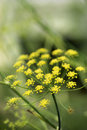 Yellow cluster bloom. Royalty Free Stock Image