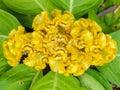 Yellow cockscomb flower close up chinese wool Stock Photo