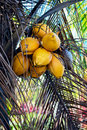 YELLOW COCONUT TREE CLOSE UP WITH BUNCH OF COCONUTS Royalty Free Stock Photo