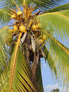 Yellow Coconuts Stock Photos