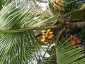 stock image of  Yellow coconuts grow on palm tree, Sri Lanka