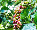 Yellow coffee bean on coffee tree Royalty Free Stock Photos