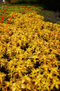 Yellow coleus leaves in the garden Royalty Free Stock Photos