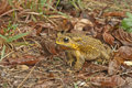 Yellow color toad colow in brown background Royalty Free Stock Image