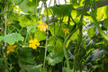 Yellow colored blossoms of cucumber plants Royalty Free Stock Photo