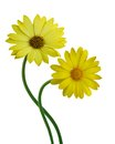 Yellow Colored Calendula Flowers Royalty Free Stock Image