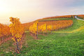 Yellow coloured vineyard in early autumn morning Royalty Free Stock Photo