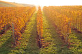Yellow coloured vineyard lit by warm morning light Royalty Free Stock Photo