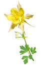 Yellow columbine flower on an white background Royalty Free Stock Image