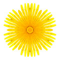 Yellow concentric dandelion flower isolated on white mandala design background kaleidoscopic Royalty Free Stock Image