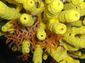 Yellow coral Royalty Free Stock Photo