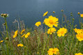 Yellow coreopsis flower near to a lake Royalty Free Stock Photography