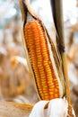 Yellow corn background Royalty Free Stock Photo