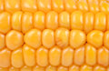 Yellow corn fresh organic close up Royalty Free Stock Image