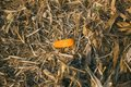 Cut leaves, corn and chaff lying on the ground during the autumn harvest of the maize crop. Royalty Free Stock Photo