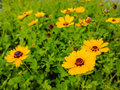 Yellow cosmos blooming in the public park Stock Images