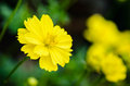 Yellow cosmos flower cosmos sulphureus in garden Stock Images