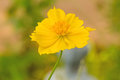 Yellow cosmos flower sulfur cosmos close up Stock Images