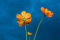 Yellow cosmos flower under cloudy sky dark process Royalty Free Stock Photography