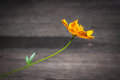 Yellow cosmos flower on woody background dark process Stock Photo
