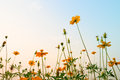 Yellow Cosmos flowers meadow next to riverside - evening lighting Royalty Free Stock Photo