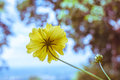 Yellow cosmos in vintage tone soft Royalty Free Stock Images