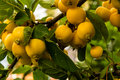 Yellow crab apples on a branch, malus baccata Royalty Free Stock Photo
