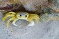 Yellow Crab
