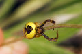 Yellow crab spider a form of on a stem over an out of focus background synema globosum Royalty Free Stock Images