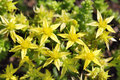 Yellow crassula blossoms ornamental moss shoots close up sedum stonecrop Royalty Free Stock Images
