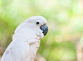Yellow-crested Cockatoo Stock Photo