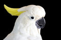 Yellow crested cockatoo a cacatua sulphurea isolated on a back background a critically endangered species native to indonesia east Stock Photo