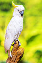 Yellow crested cockatoo perch on a branch Stock Image