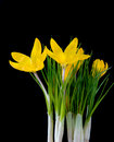 Yellow crocus Royalty Free Stock Image