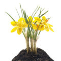 Yellow crocus Royalty Free Stock Images