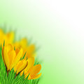 Yellow crocus on the blurred background Royalty Free Stock Images