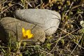 Yellow crocus is first spring flower on a background of gray stones and last year s grass Royalty Free Stock Photography