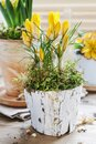 Yellow crocus flower in bark pot decorated with moss Royalty Free Stock Photo