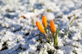 Yellow crocus flower snow early spring Royalty Free Stock Image
