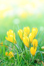Yellow crocus flowers bouquet of in spring Stock Image