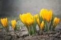 Yellow Crocus Flowers Royalty Free Stock Photo