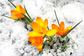 Yellow crocus flowers in the snow Stock Image