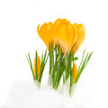 Yellow crocus flowers spring flower coming from snow isolated on white Stock Image