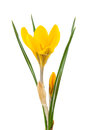 Yellow crocus isolated on a white background Stock Photography