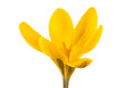 Yellow crocus isolated on a white background Royalty Free Stock Photos