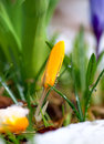 Yellow crocus in melting snow close up of Stock Image
